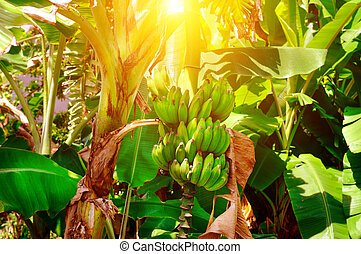 A bunch of green bananas ripens on a palm tree in tropical garden and sun.