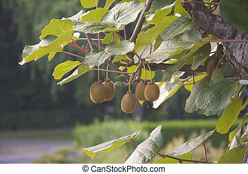 A bunch of kiwis ripening in a gard