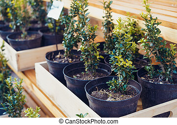 A bunch of potted plants in wooden box growing inside a greenhouse nursery. Selective focus.
