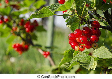 A bunch of redcurrant berries grow on a green bush under the sun's rays