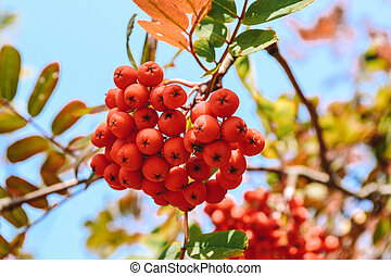 A bunch of ripe rowan berries in the fall. Yellow, green, orange autumn leaves of mountain ash against a blue sky. Selective focus.