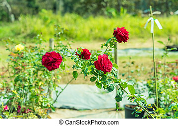 a bunch of roses in the garden
