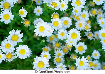 A Bunch of Spring Daisies - The entire filed of view is ...