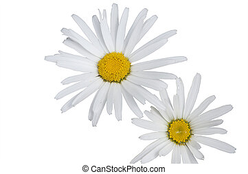 A Bunch of White Daisies Isolated