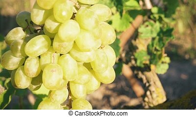 A bunch of white grapes in the sunlight