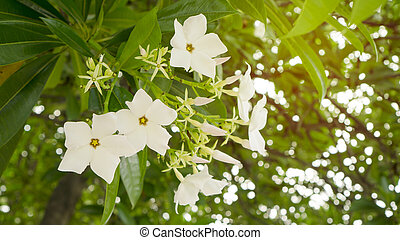 a bunch pretty white petals of Suicide tree's flower, called in other name are Pong Pong and Othalanga tree, a beautiful white bouquet on green leaf background