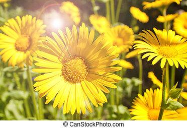 bright yellow summer daisies