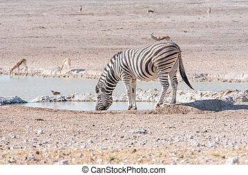 Burchells zebra, Equus quagga burchellii, drinking water at a waterhole