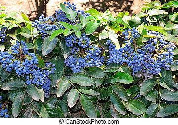 Mahonia - A bush branches with ripe fruits of Mahonia...
