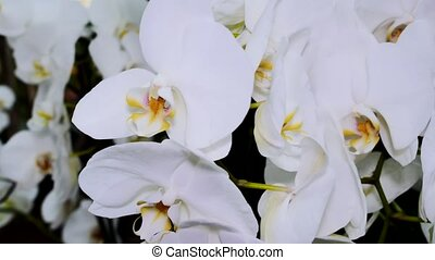 A bush of a white orchid close-up. The camera moves back on the slider. Color correction.