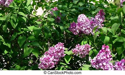 A Bush of blooming lilac close-up In the park slomo