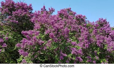 a bush of blossoming lilac