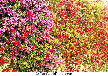 A bush of bougainvillea paper flower