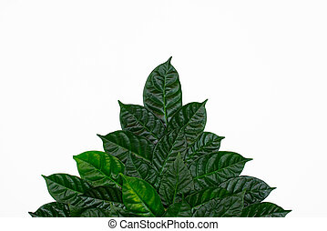 A Bush of green leaves on white isolated background.