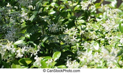 A bush of Jasmine flowers move about in the wind and shadows