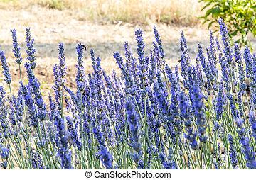 A bush of lavender flowers