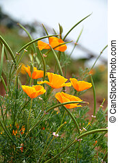 A bush of orange poppy