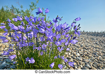 A bush of wild bells on the coastal pebbles.