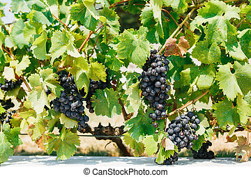 A bush with bunches of ripe blue grapes in green leaves in the sun.