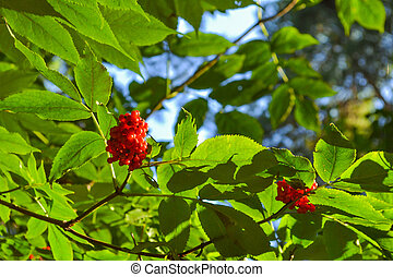 A bush with red forest berries on a branch with green leaves