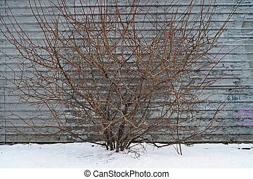 A bush without leaves on the background of the fence in winter
