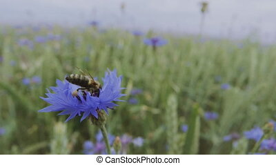 A busy bee is pollinating a beautiful blue cornflower wildflower in the summer sunset field without people Close up view slow mo video in 4K on UHD camera