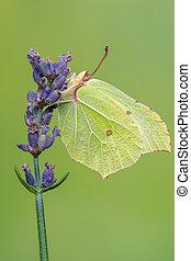 insect - butterfly - Brimstone, Gonepteryx rhamni