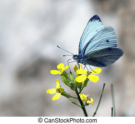 a butterfly collects nectar on a yellow flower - butterfly...