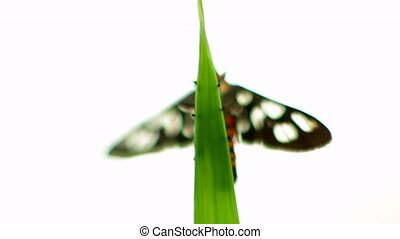 A butterfly sits on a blade of grass. White background.