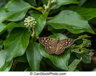 A butterfly sitting on an ivy leaf
