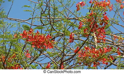 A Caesalpinia tree blooming with red fiery flowers - A...
