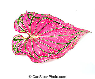 a Caladium leaves on a white background