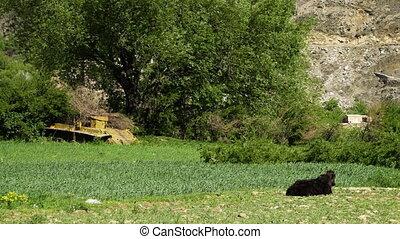 A calf near an old tank - A steady, long shot of a calf...