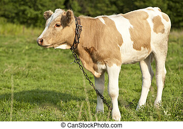 A Calf on the Meadow