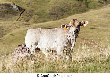 A calf resting - A calf is resting in spanish Pyrenees