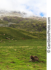 A calf resting - A calf is resting in spanish Pyrenees, with...