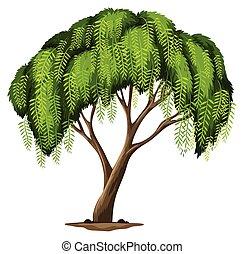 A Californian pepper tree - Illustration of a Californian...