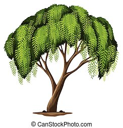 A Californian pepper tree - Illustration of a Californian...