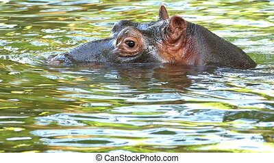a Calm Hippopotamus Swims And Dives in a Pond in Summer in Slow Motion