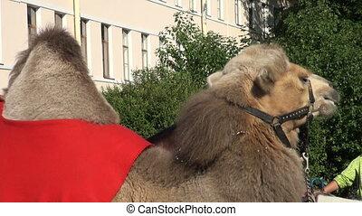 A camel.