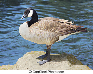 Canadian Goose perched on a rock by lake.