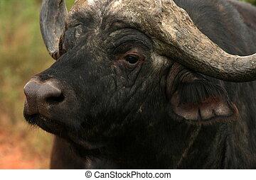 A cape Buffalo bull in South Africa