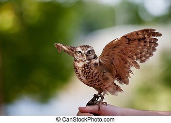 Burrowing Owl - A captive Burrowing Owl from the Bird of...