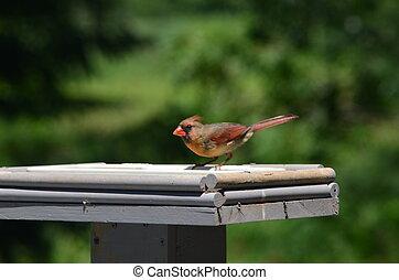 A Cardinal in a bird feeder