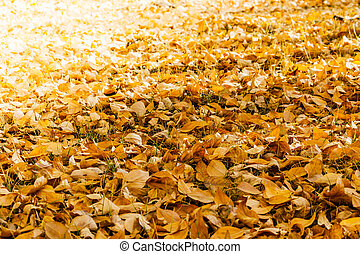 A carpet of yellow autumn leaves in the poplar forest