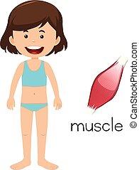 A Cartoon of Human Muscle
