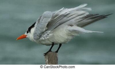 a caspian tern bird in ria largartos, mexico