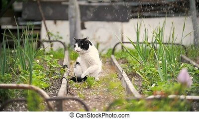 A cat licks a paw, sits in the garden, a sunny day,...