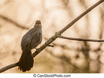 A Catbird perched on a tree branch.
