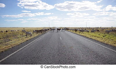A cattle crossing the road - A long shot under a sunny day...